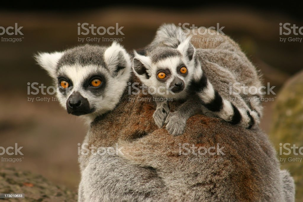 A mommy and baby lemur in the wild stock photo