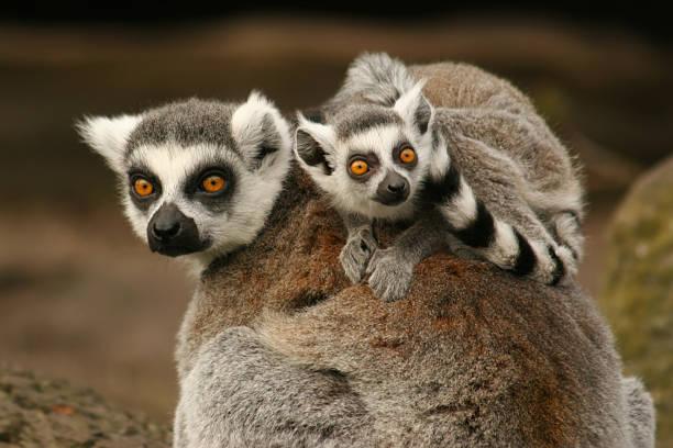 lémur - gato civeta fotografías e imágenes de stock