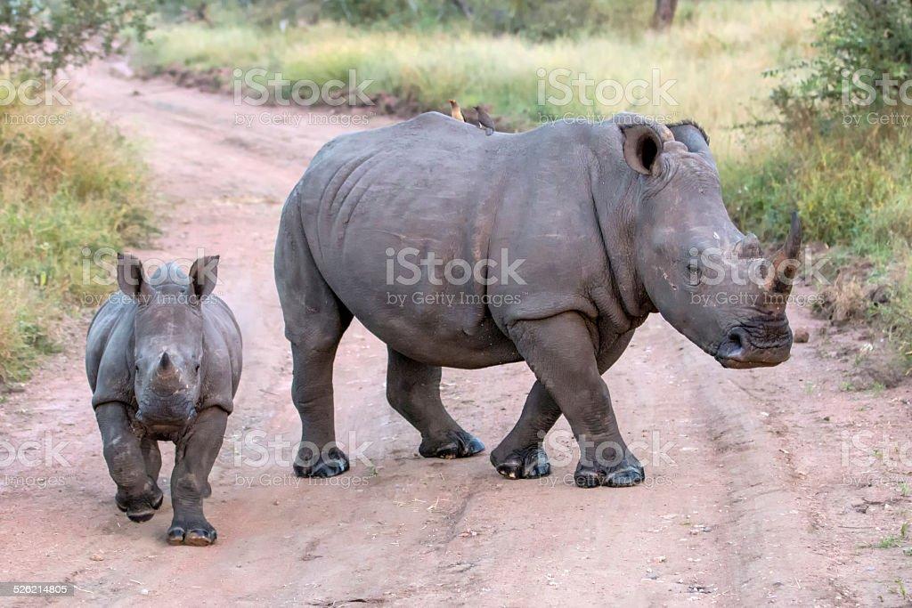 Mommy and Baby White Rhinos stock photo