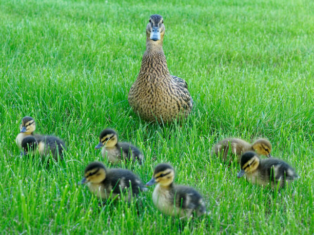 mommy duck and its lovely chicks on the grass stock photo