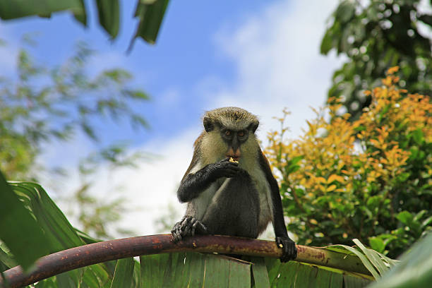 Mona Monkey stock photo