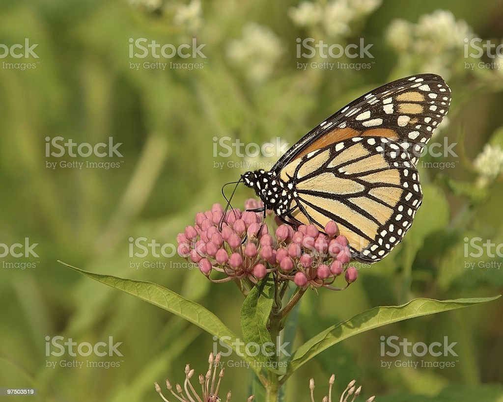 Monarch 2 royalty-free stock photo