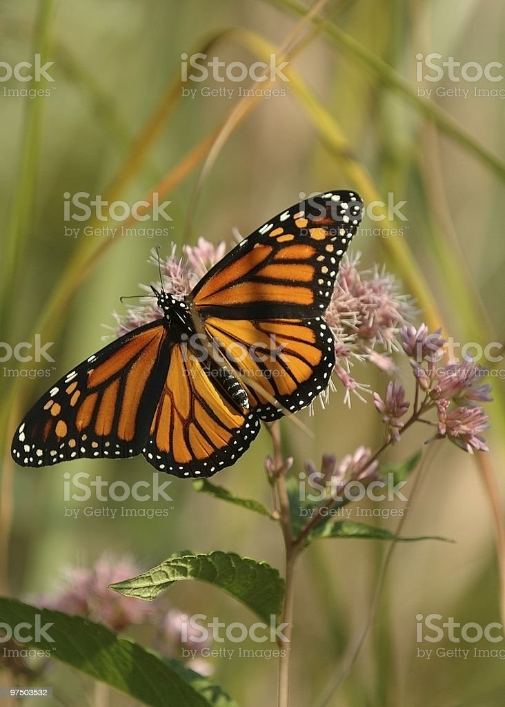Monarch 3 royalty-free stock photo