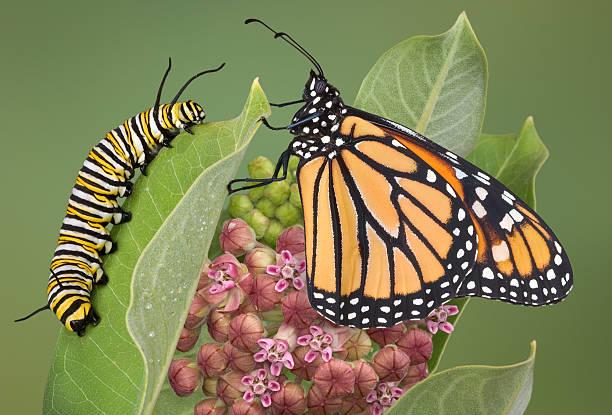 monarch e a caterpillar em asclépia planta - lagarta - fotografias e filmes do acervo