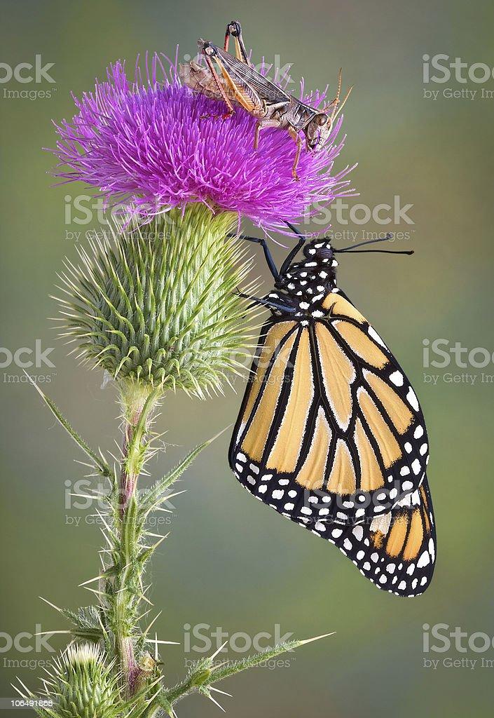 Monarch and Grasshopper stock photo