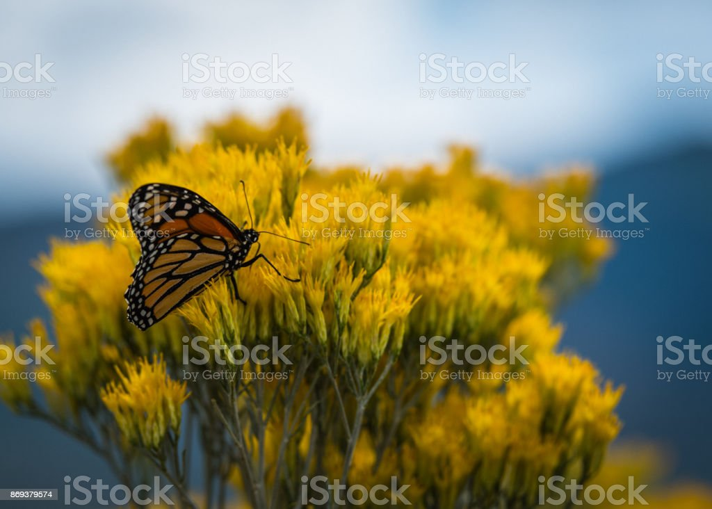 Monarch and Sage One stock photo