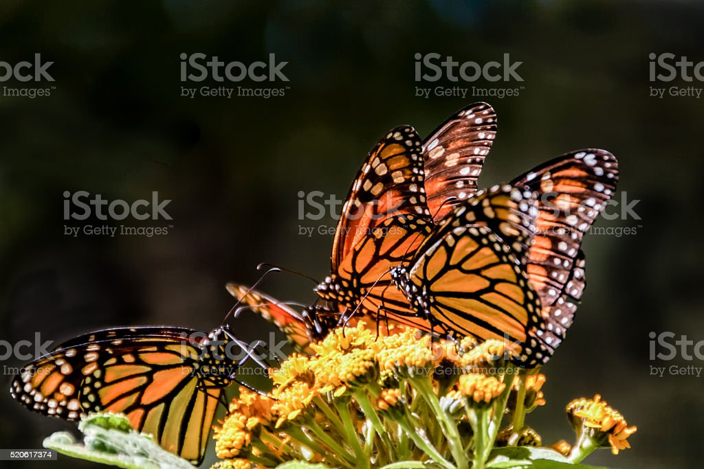 Monarch butterfies on a milkweed flower stock photo