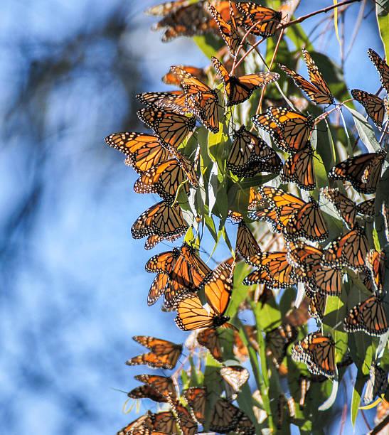 Monarch butterflies - Danaus plexippus stock photo