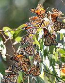 Monarchs cluster in the eucalyptus trees at the Natural Bridges State Park in Santa Cruz, California.