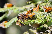 Monarch Butterflies fluttering on trees at the Sierra Chincua Monarch Butterfly Preserve, Mexico