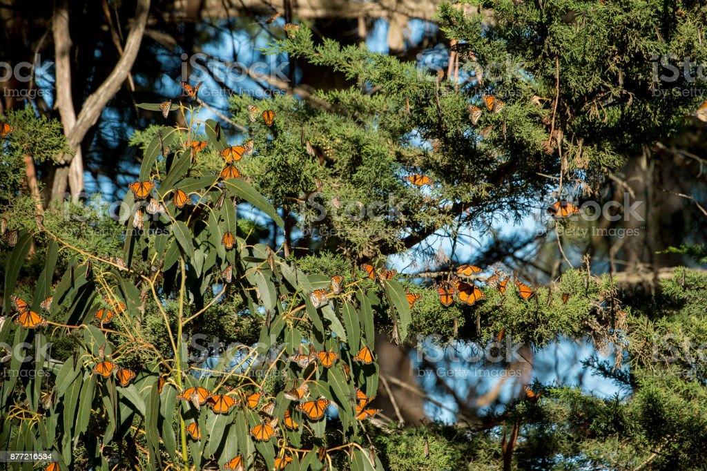 Monarch Butterflies Flying Near Nesting Trees stock photo