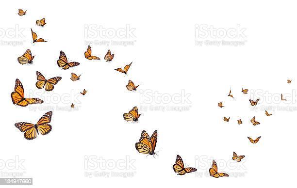 Monarch butterflies in motion picture id184947660?b=1&k=6&m=184947660&s=612x612&h=pppvre7v5jo0j705vfifaw9uixbphtst66u54wqm2oy=