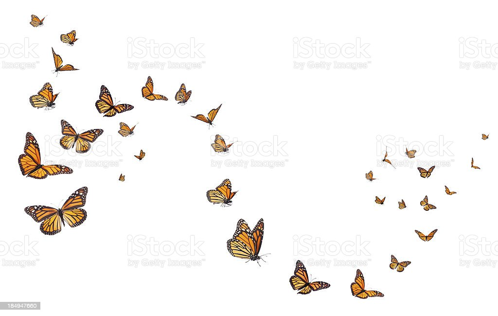Monarch Butterflies in Motion stock photo