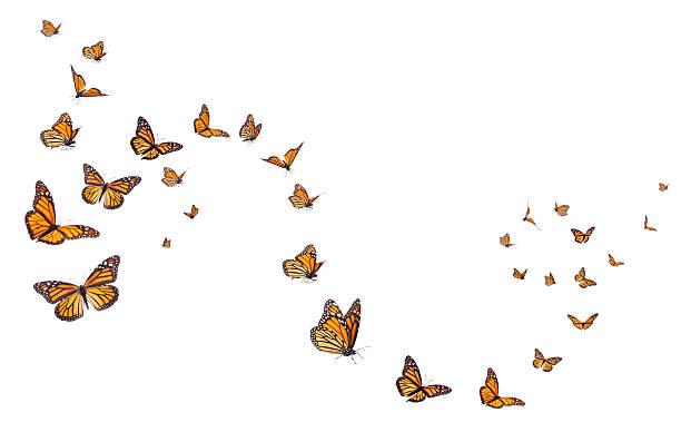 monarch schmetterlinge in motion - schmetterling stock-fotos und bilder