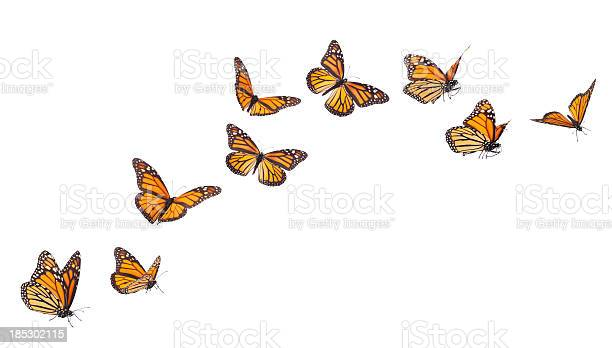 Monarch butterflies in various flying positions isolated on white picture id185302115?b=1&k=6&m=185302115&s=612x612&h=i4nbe kygfll6sh0hutsjn v81akrr867sdb 3ddeia=