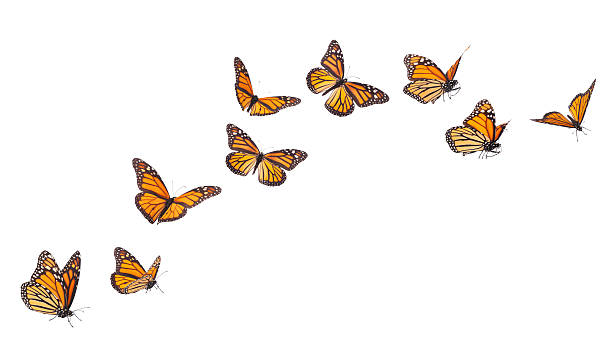 Monarch Butterflies in various flying positions isolated on white stock photo