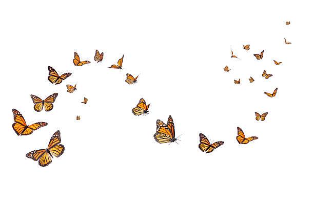 Monarch butterflies isolated on white picture id530438152?b=1&k=6&m=530438152&s=612x612&w=0&h=5xwfyhgykzyzrag5cmtopfuccmjg8kwtqzjy7fheceg=