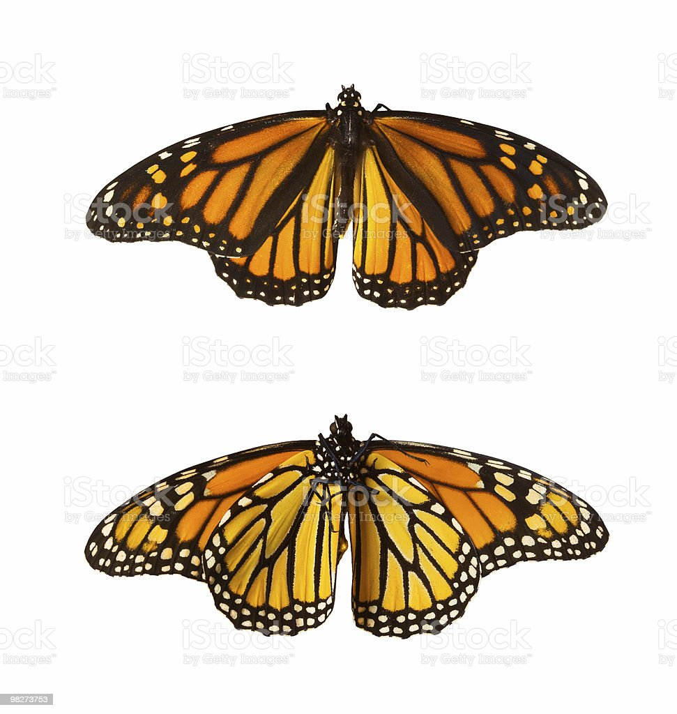 Monarch 나비, 격리됨에 royalty-free 스톡 사진