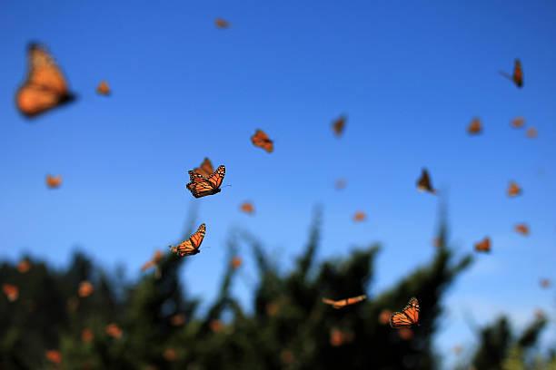 Monarch Butterflies, Michoacan, Mexico stock photo