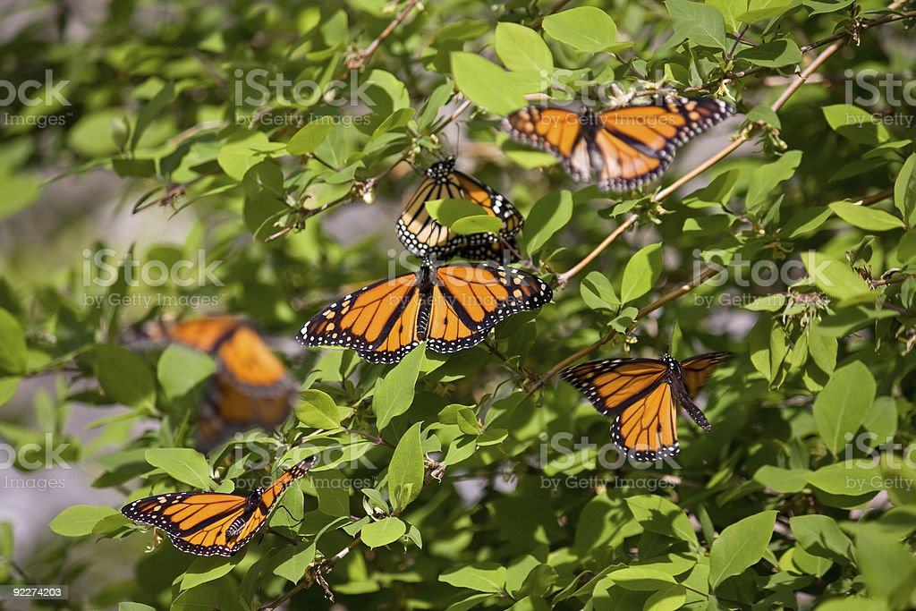 Monarch butterflies on green leaves stock photo