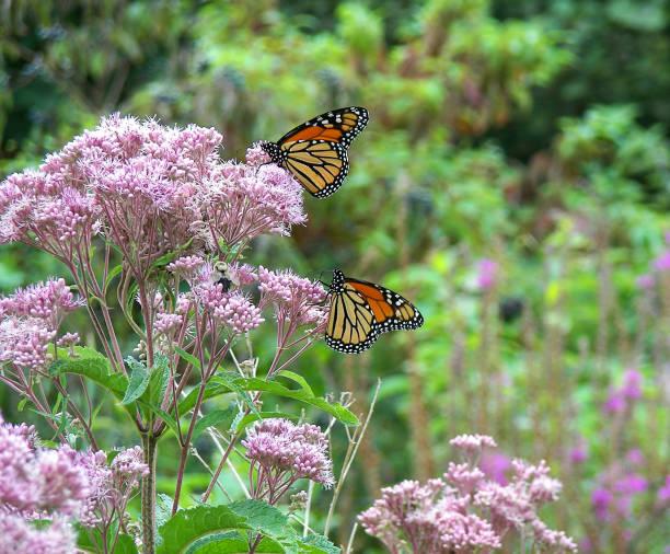 Monarch butterflies on milkweed picture id1161790081?b=1&k=6&m=1161790081&s=612x612&w=0&h=u4sh2amcimk9plpmo7c3tyeac1dadrvh3b4vfg3uqcw=
