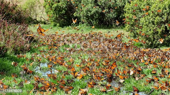 Monarch Butterflies on the ground at El Rosario Monarch Butterfly Preserve, Michoacan, Mexico