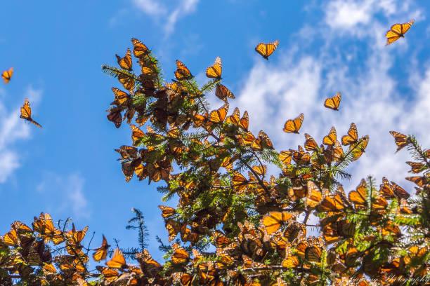 monarchfalter auf ast im blauen himmelshintergrund, michoacan, mexiko - schönste reiseziele der welt stock-fotos und bilder
