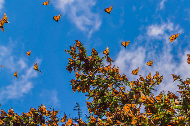 Monarch Butterflies on tree branch in blue sky background Monarch Butterflies on tree branch in blue sky background, Michoacan, Mexico wildlife reserve stock pictures, royalty-free photos & images