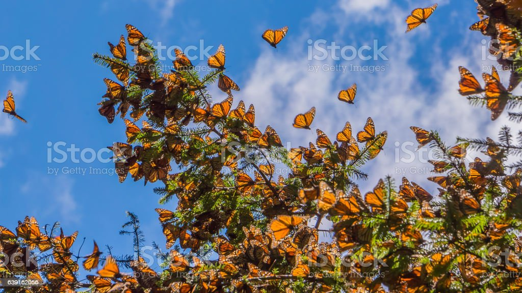 Monarch Butterflies on tree branch in blue sky background Monarch Butterflies on tree branch in blue sky background, Michoacan, Mexico Animal Stock Photo