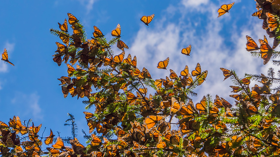 Monarch Butterflies On Tree Branch In Blue Sky Background Stock Photo - Download Image Now