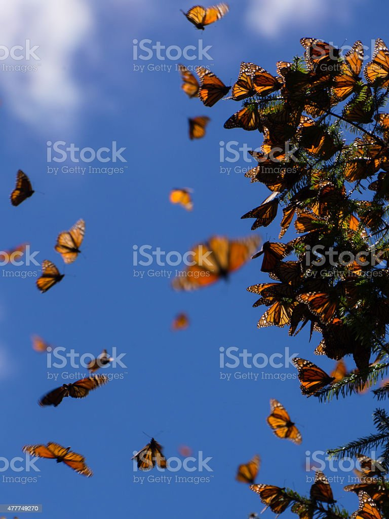 Monarch Butterflies on tree branch in Michoacan, Mexico stock photo