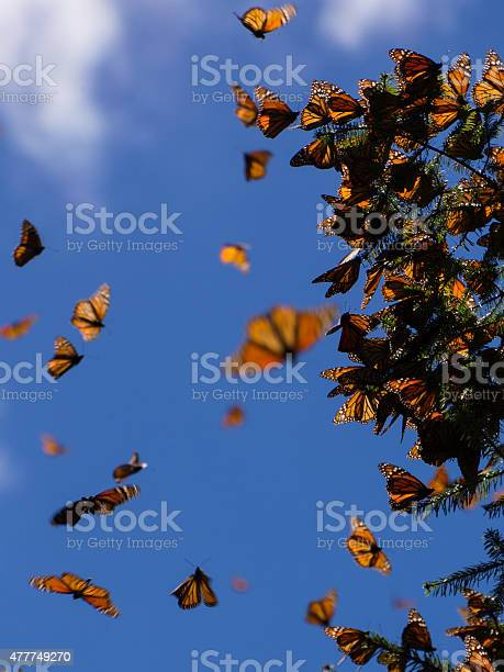 Monarch Butterflies On Tree Branch In Michoacan Mexico Stock Photo - Download Image Now