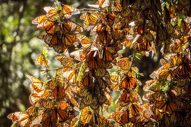 ramo di albero di farfalle monarca in michoacán, messico - farfalla ramo foto e immagini stock