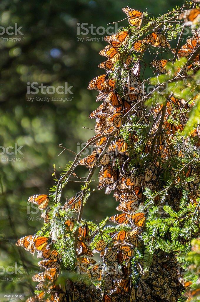 Monarch borboletas em um galho de árvore em Michoacán, México foto royalty-free