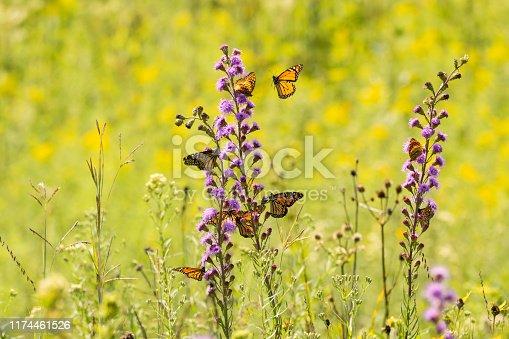 Monarch Butterflies feeding from a Tall Blazing Star wildflower.