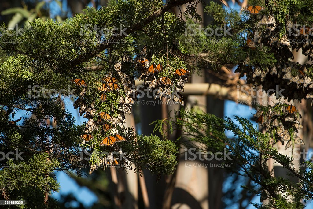 Monarch butterflies resting on a tree branch stock photo