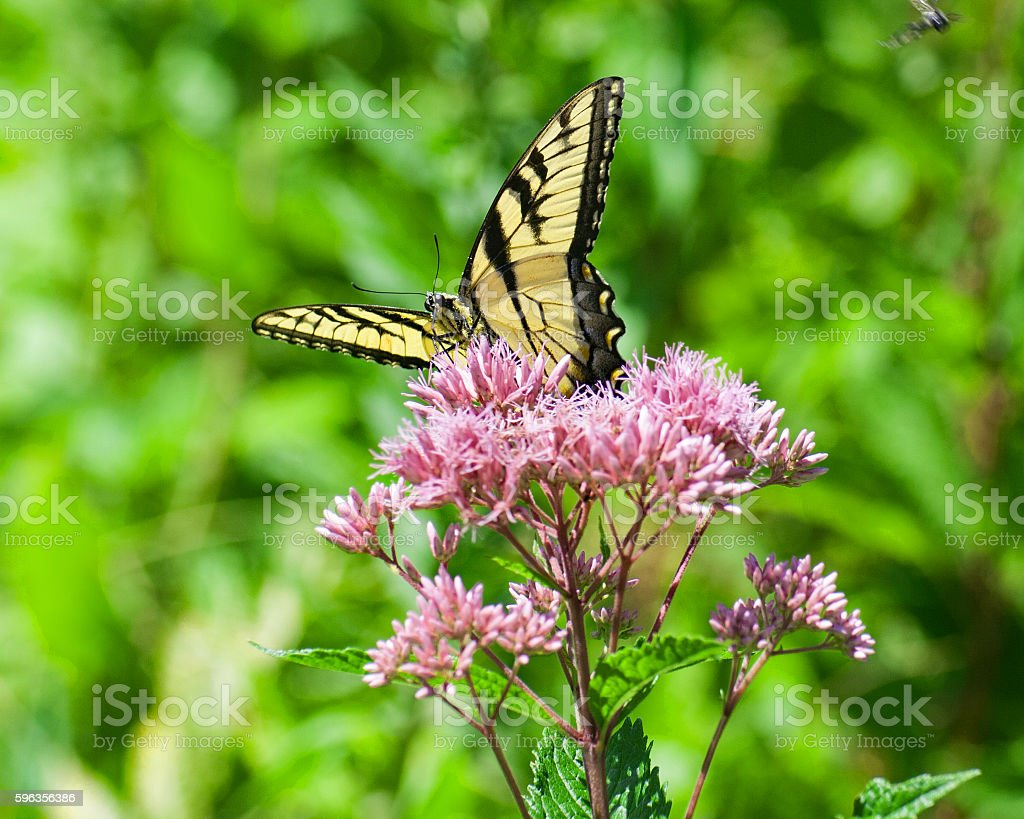 Monarch Butterfly 1 royalty-free stock photo