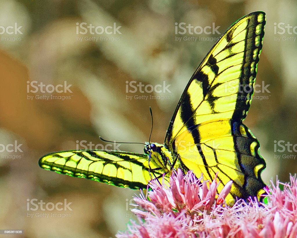 Monarch Butterfly  2 royalty-free stock photo