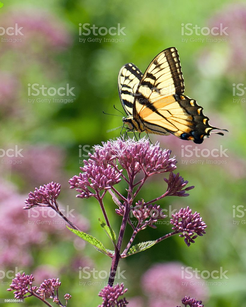 Monarch Butterfly 4 royalty-free stock photo