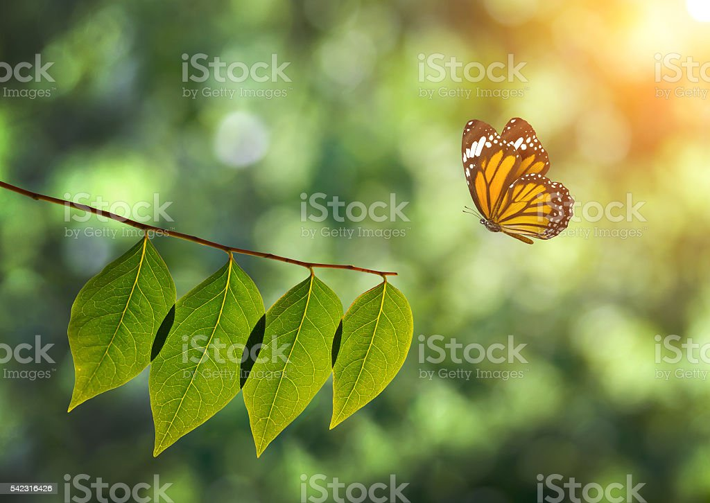 monarch butterfly and green leaf on sunlight in nature stock photo