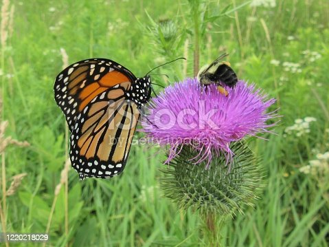 The monarch butterfly and honey bee were feeding together on a thistle blossom in a field full of wild flowers during late July.