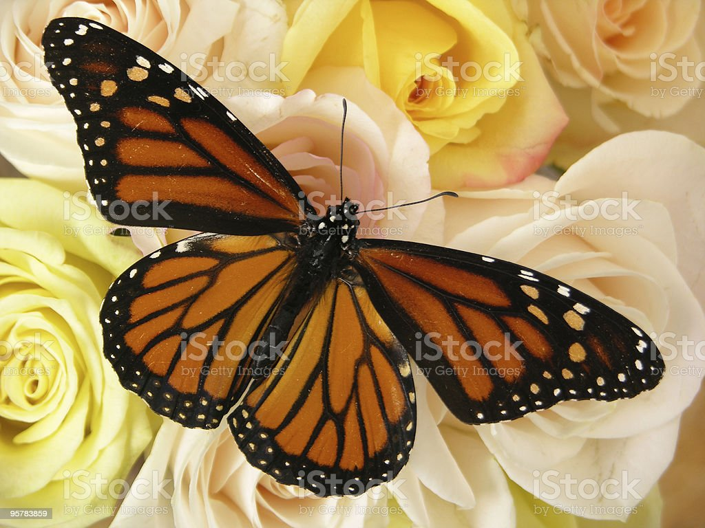 Monarch Butterfly and Roses royalty-free stock photo