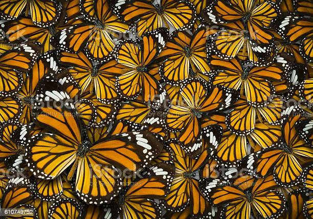 Monarch butterfly background picture id610749752?b=1&k=6&m=610749752&s=612x612&h=5brerofou53uwjsnute4j8fgsctbwjawawu3w8dkqwe=