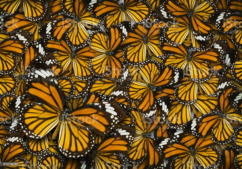 monarch butterfly background - foto de acervo
