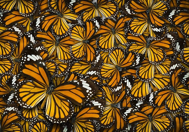 monarch butterfly background - 제왕나비 뉴스 사진 이미지
