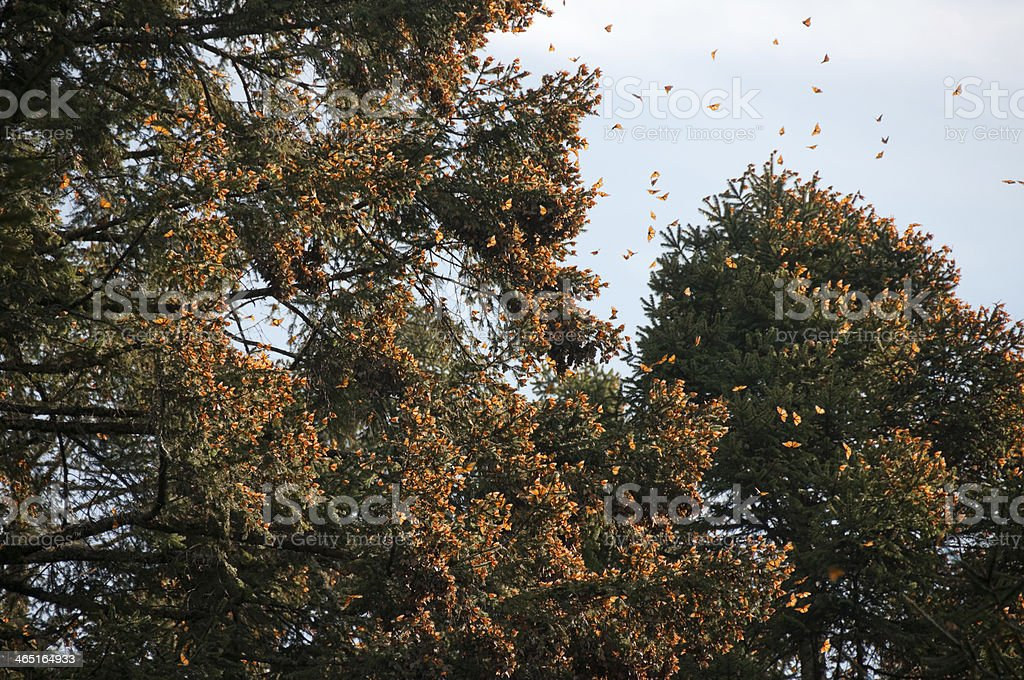 A Monarch Butterfly Biosphere in Reserve, Michoacan, Mexico stock photo