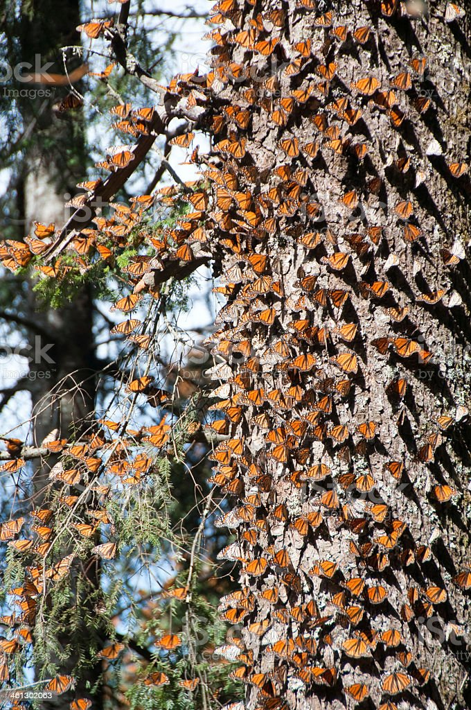 Monarch butterfly biosphere reserve, Michoacan, Mexico stock photo