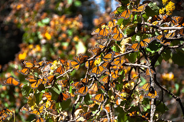 Monarch Butterfly Biosphere Reserve, Michoacan (Mexico) stock photo