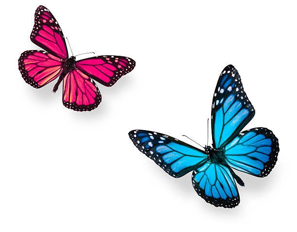 Monarch butterfly blue and pink picture id106587862?b=1&k=6&m=106587862&s=612x612&w=0&h=lzx95kvjgfoqw ircbe hyhdacg6 czu1utdshsao w=