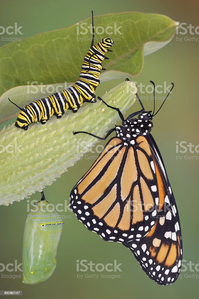Monarch butterfly, caterpillar and chrysalis life stages stock photo